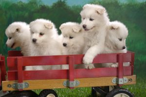 Wagonload Of Samoyed Puppies