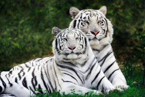 White Bengal Tigers Widescreen