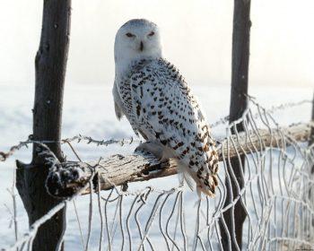 White Winter Owl