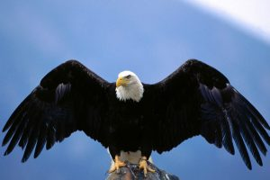 Wingspan Bald Eagle