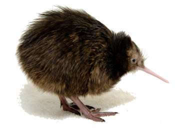 Baby Kiwi Bird HD PNG image HD Wallpaper Download For Android Mobile Wallpapers HD For I Phone Six Free Download