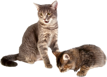 Baby Kitten with Mom Cat Transparent Image HD Wallpaper Download For Android Mobile Wallpapers HD For I Phone Six Free Download