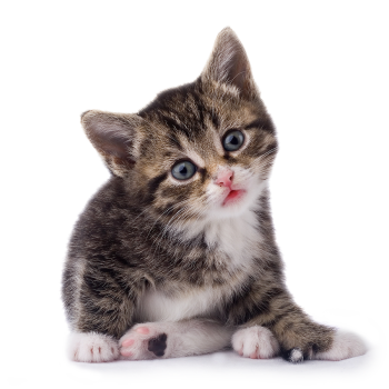 Kitten Transparent Image PNG Image HD Wallpaper Download For Android Mobile Wallpapers HD For I Phone Six Free Download