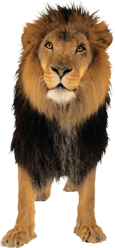 Lion PNG Image | HD Wallpaper Download For Android Mobile | Wallpaper HD For I Phone Six Free