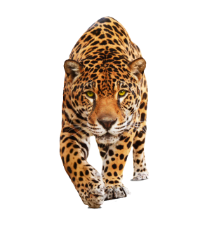 Jaguar PNG image | HD Wallpaper Download For Android Mobile | Wallpaper HD For I Phone Six Free