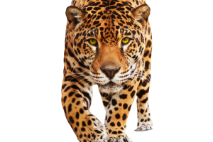 Jaguar PNG image   HD Wallpaper Download For Android Mobile   Wallpaper HD For I Phone Six Free