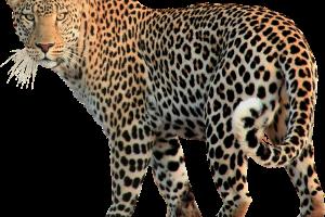 Leopard Transparent Image