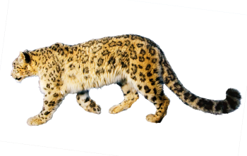 Old Jaguar PNG image HD Wallpaper Download For Android Mobile Wallpapers HD For I Phone Six Free Download
