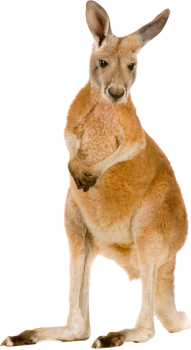 Kangaroo PNG HD Wallpaper Download For Android Mobile Wallpapers HD For I Phone Six Free Download