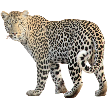 Angry Leopard PNG image HD Wallpaper Download For Android Mobile Wallpapers HD For I Phone Six Free Download