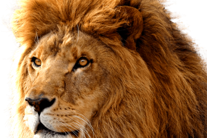 Lion Face PNG   HD Wallpaper Download For Android Mobile   Wallpaper HD For I Phone Six Free Download