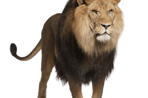 Lion PNG Image Jungle King   HD Wallpaper Download For Android Mobile
