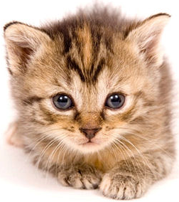 HD Wallpaper Kitten Png Pic