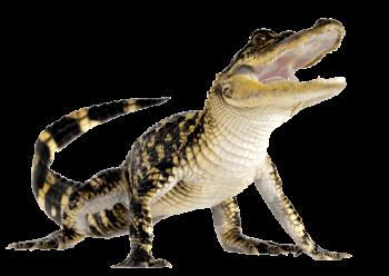HD Wallpaper Komodo Dragon Png File
