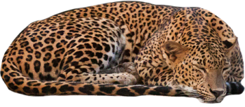 Sleeping Leopard PNG image HD Wallpaper Download For Android Mobile Wallpapers HD For I Phone Six Free Download