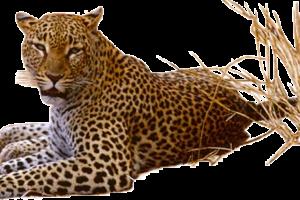 HD Wallpaper Leopard Png Pic