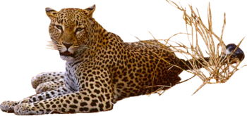 HD Wallpaper Leopard Png Pic