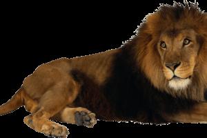 HD Wallpaper Lion Png Image