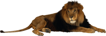 HD Wallpaper Lion Png Image
