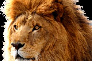 HD Wallpaper Lion Transparent