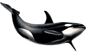 Killer Whale Swimming PNG Image HD Wallpaper Download For Android Mobile Wallpapers HD For I Phone Six Free Download
