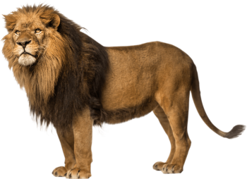 Standing Lion PNG image HD Wallpaper Download For Android Mobile Wallpapers HD For I Phone Six Free Download