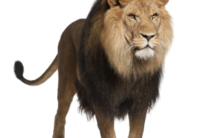 Lion HD Wallpaper PNG Transparent Image Download