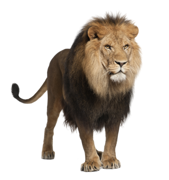 Lion HD Wallpaper | PNG Transparent Image Download