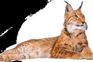 Lynx PNG PictureFull HD Wallpaper Download