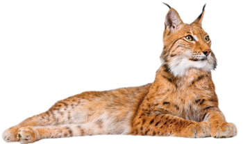 Lynx PNG Picture Full HD Wallpaper Download
