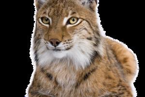 Lynx PNG Wallpaper