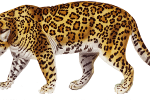 Jaguar PNG Wallpaper | Jungle Hunter | 3D HD Wallpaper | HD Wallpaper Download For Android Mobile