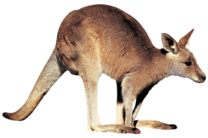 Kangaroo PNG  3D HD Wallpapers HD Wallpaper Download For Android Mobile