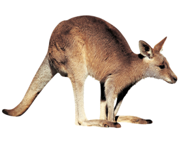 Kangaroo PNG | 3D HD Wallpaper | HD Wallpaper Download For Android Mobile