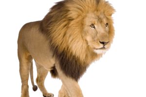 Lion PNG Image Download | 3D HD Wallpaper | HD Wallpaper Download For Android Mobile