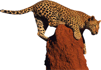 Leopard Clipart PNG Image HD Wallpaper Download For Android Mobile Wallpapers HD For I Phone Six Free Download