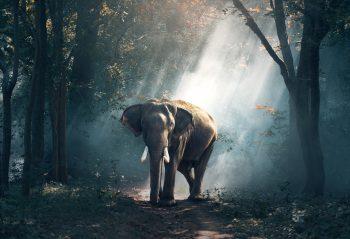 Elephant In Jungle